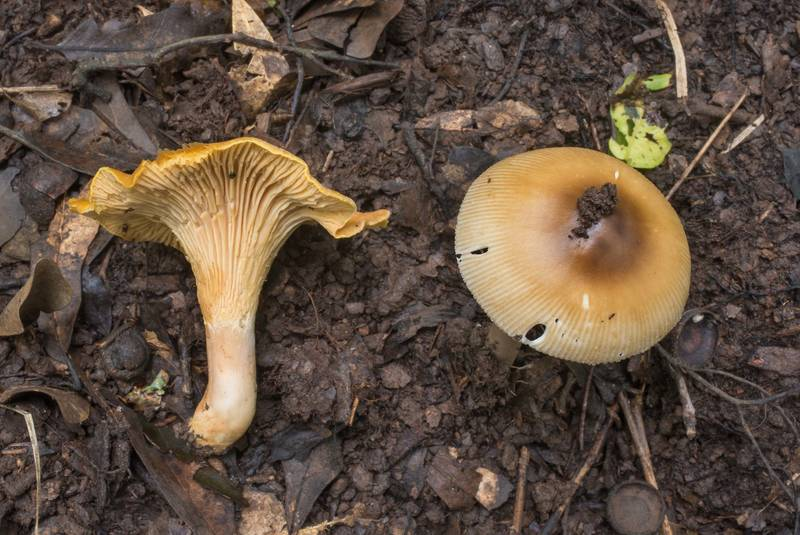 Brown grisette mushroom (Amanita sect. Vaginatae) together with chanterelle in wet area in Lick Creek Park. College Station, Texas, June 28, 2019