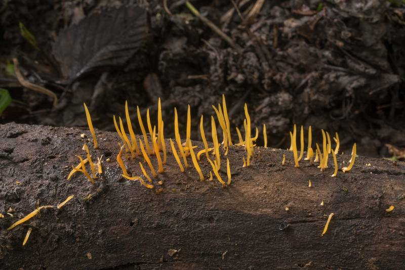 "Coral fungus <B>Calocera cornea</B> on a fallen branch in Lick Creek Park. College Station, Texas, <A HREF=""../date-en/2019-06-28.htm"">June 28, 2019</A>"