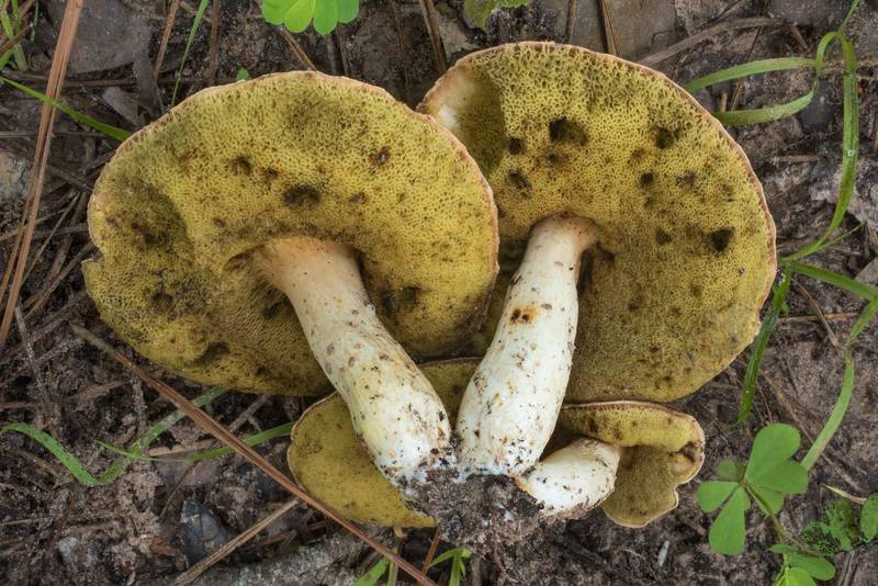 "Underside of spotted bolete mushrooms (<B>Xanthoconium affine</B>) on Little Lake Creek Loop Trail in Sam Houston National Forest. Richards, Texas, <A HREF=""../date-en/2019-06-29.htm"">June 29, 2019</A>"
