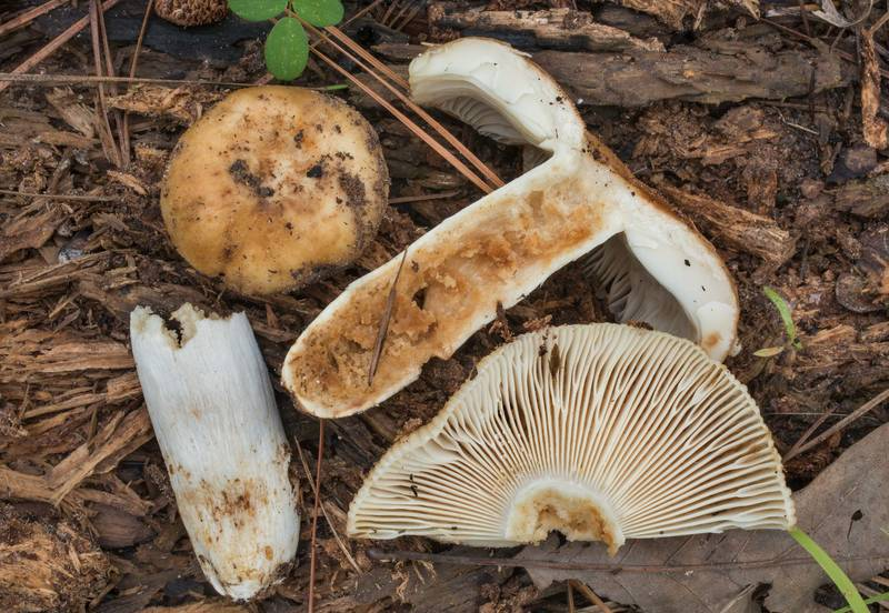 "Dissected stinking russula mushroom (<B>Russula foetens</B>) on Forest Service Road 203 in Sam Houston National Forest. Richards, Texas, <A HREF=""../date-en/2019-06-29.htm"">June 29, 2019</A>"