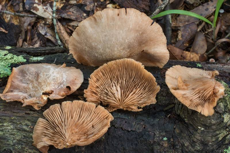 "Oysterling mushrooms <B>Crepidotus mollis</B> in Lick Creek Park. College Station, Texas, <A HREF=""../date-en/2019-06-30.htm"">June 30, 2019</A>"