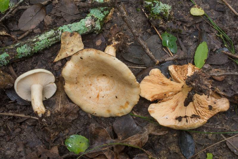 "Milkcap mushrooms <B>Lactarius maculatipes</B>(?) in Lick Creek Park. College Station, Texas, <A HREF=""../date-en/2019-06-30.htm"">June 30, 2019</A>"