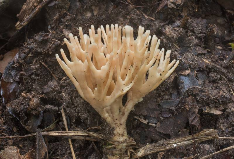 False coral fungus (Tremellodendron schweinitzii) in Lick Creek Park. College Station, Texas, June 30, 2019