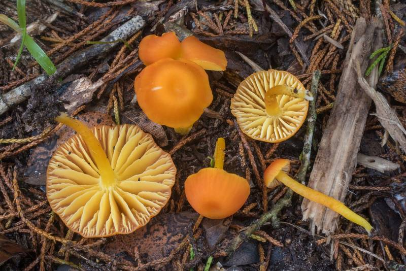 Vermilion waxcap mushrooms (Hygrocybe miniata) in Lick Creek Park. College Station, Texas, June 30, 2019