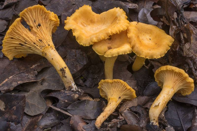 "Chanterelle mushrooms (<B>Cantharellus cibarius</B>) in Lick Creek Park. College Station, Texas, <A HREF=""../date-en/2019-06-30.htm"">June 30, 2019</A>"