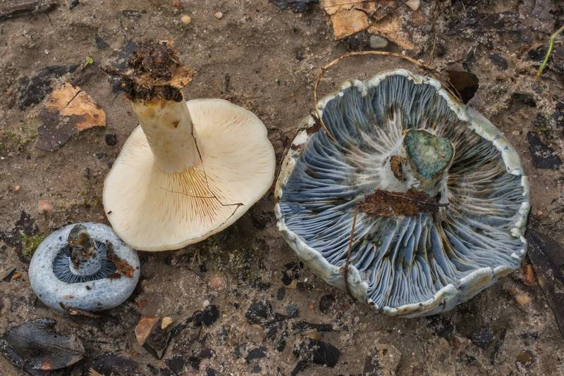 "Gills of milkcap mushrooms <B>Lactarius maculatipes</B> and Lactarius indigo on Yaupon Loop Trail in Lick Creek Park. College Station, Texas, <A HREF=""../date-en/2019-06-30.htm"">June 30, 2019</A>"