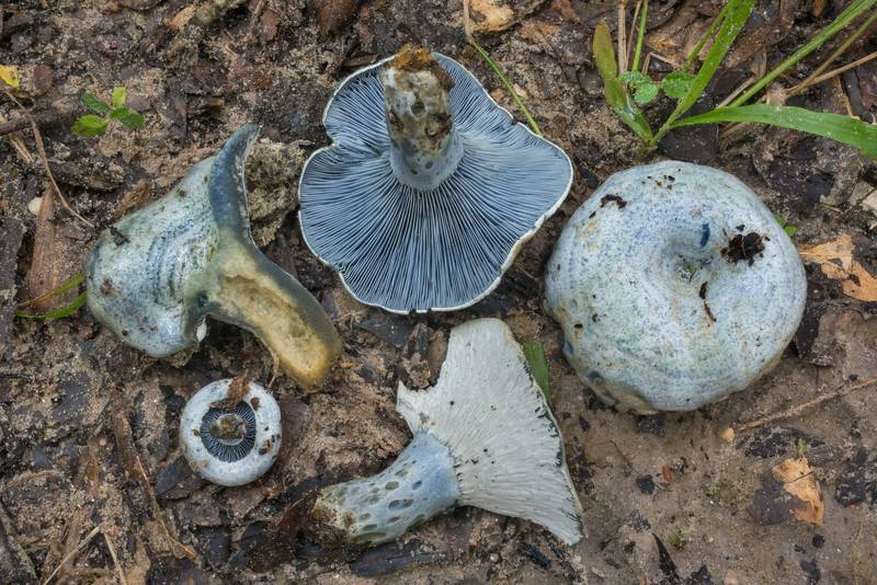"Group of milkcap mushrooms (<B>Lactarius indigo</B>) on Yaupon Loop Trail in Lick Creek Park. College Station, Texas, <A HREF=""../date-en/2019-06-30.htm"">June 30, 2019</A>"