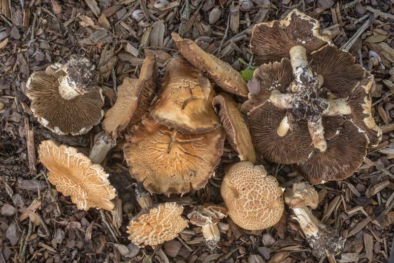 "Brown gills of mature bearded fieldcap mushrooms (<B>Agrocybe dura</B>, Agrocybe praecox group) under a live oak on the university golf course at Texas Avenue. College Station, Texas, <A HREF=""../date-en/2019-07-01.htm"">July 1, 2019</A>"