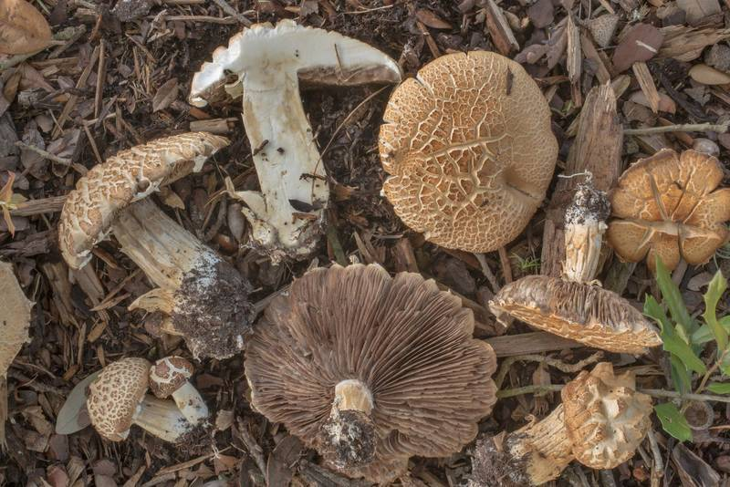"Dissected bearded fieldcap mushrooms (<B>Agrocybe dura</B>, Agrocybe praecox group) under a live oak on the university golf course at Texas Avenue. College Station, Texas, <A HREF=""../date-en/2019-07-01.htm"">July 1, 2019</A>"