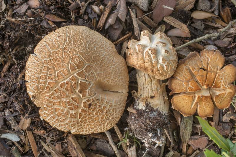 "Cracked brown caps of bearded fieldcap mushrooms (<B>Agrocybe dura</B>, Agrocybe praecox group) under a live oak on the university golf course at Texas Avenue. College Station, Texas, <A HREF=""../date-en/2019-07-01.htm"">July 1, 2019</A>"