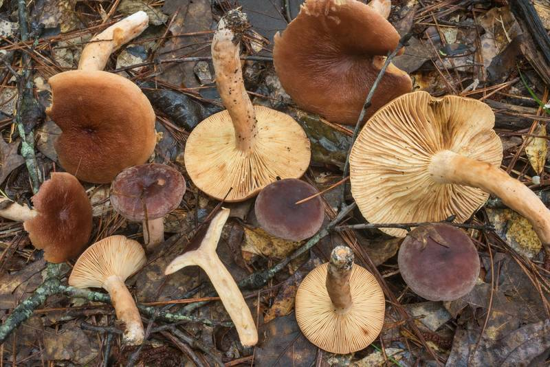 "Group of corrugated-cap milky mushrooms (Lactifluus corrugis, <B>Lactarius corrugis</B>) on Caney Creek section of Lone Star Hiking Trail in Sam Houston National Forest north from Montgomery. Texas, <A HREF=""../date-en/2019-07-04.htm"">July 4, 2019</A>"