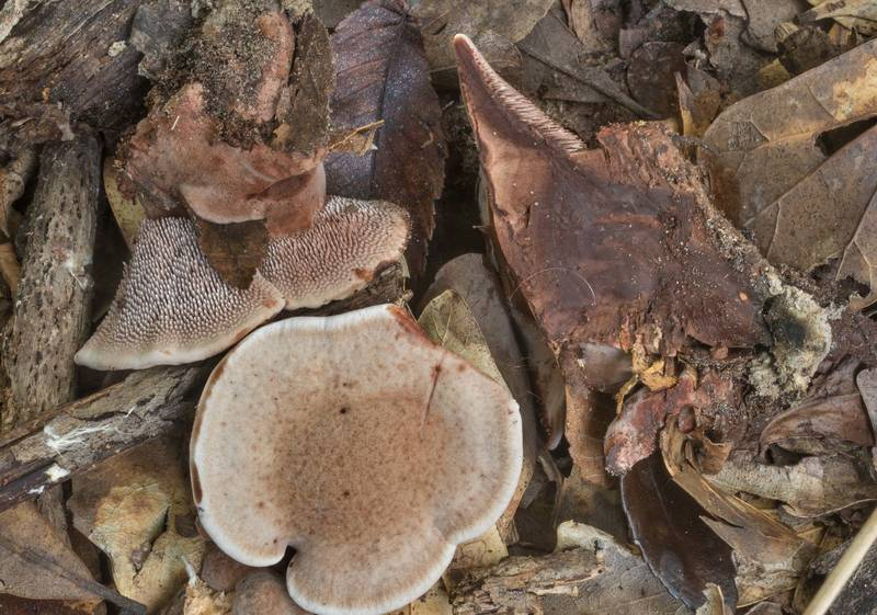 Dissected velvet tooth mushrooms Hydnellum spongiosipes among oak leaves in Lick Creek Park. College Station, Texas, July 5, 2019