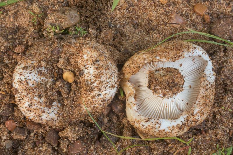 White milkcap mushrooms (Lactarius) on sandy soil in Lick Creek Park. College Station, Texas, July 5, 2019