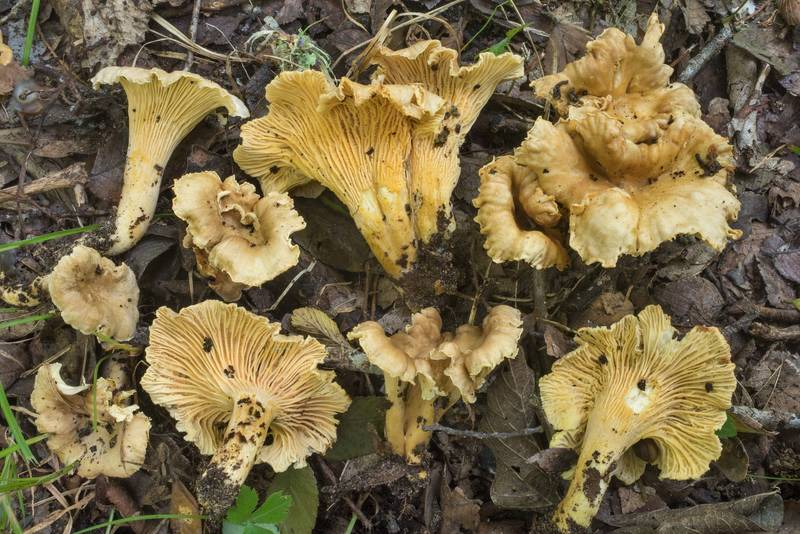 "Drab yellow chanterelle mushrooms <B>Cantharellus quercophilus</B> under small cedar elm trees and oaks in Washington-on-the-Brazos State Historic Site. Washington, Texas, <A HREF=""../date-en/2019-07-06.htm"">July 6, 2019</A>"