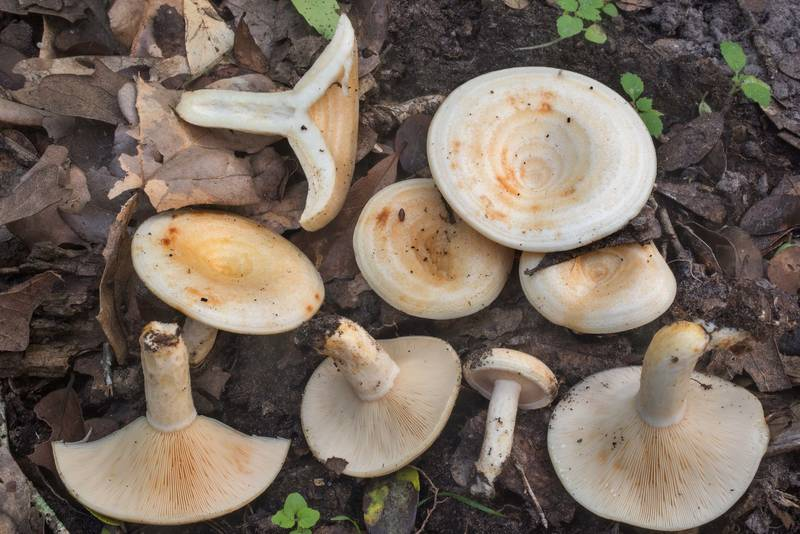 Dissected milkcap mushrooms Lactarius maculatipes under oaks in Lick Creek Park. College Station, Texas, July 7, 2019