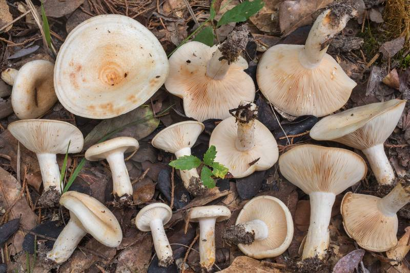 Masses of milkcap mushrooms Lactarius maculatipes on Closed Trail in Lick Creek Park. College Station, Texas, July 7, 2019