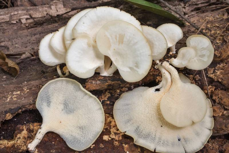 Tropical white polypore mushrooms (Favolus tenuiculus, Favolus brasiliensis) on an oak log on Caney Creek Trail (Little Lake Creek Loop Trail) in Sam Houston National Forest north from Montgomery. Texas, July 13, 2019