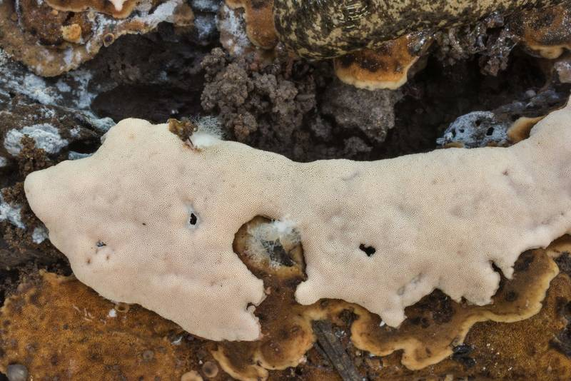 Close up of resupinate polypore mushroom on rotting wood on Caney Creek section of Lone Star Hiking Trail in Sam Houston National Forest north from Montgomery. Texas, July 13, 2019