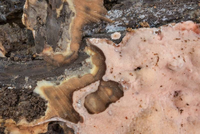 Resupinate polypore mushroom in cross section on rotting wood on Caney Creek section of Lone Star Hiking Trail in Sam Houston National Forest north from Montgomery. Texas, July 13, 2019