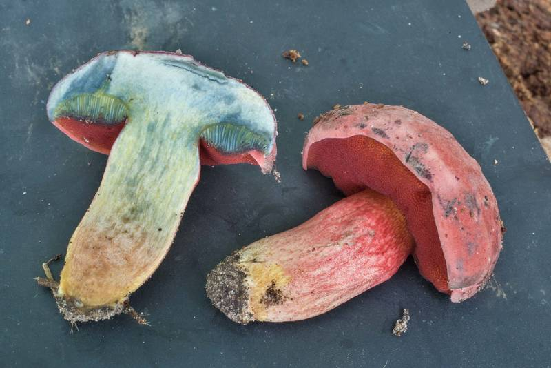 Dissected red pored bolete mushroom Boletus flammans on Lone Star Hiking Trail near Pole Creek in Sam Houston National Forest. Richards, Texas, July 20, 2019
