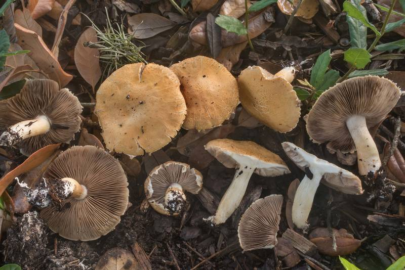 Bearded fieldcap mushrooms (Agrocybe dura, Agrocybe praecox group) under a live oak on the university golf course at Texas Avenue. College Station, Texas, August 6, 2019