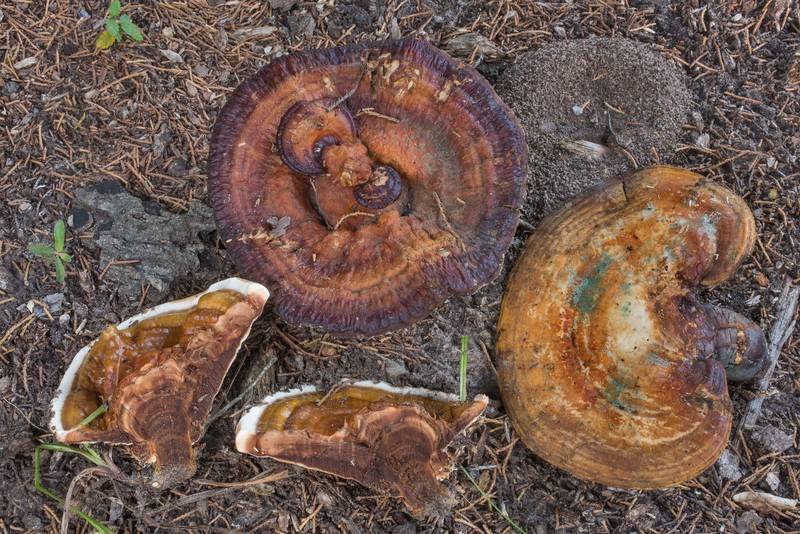 Dissected polypore mushrooms Ganoderma martinicense in College Station Cemetery. College Station, Texas, August 6, 2019