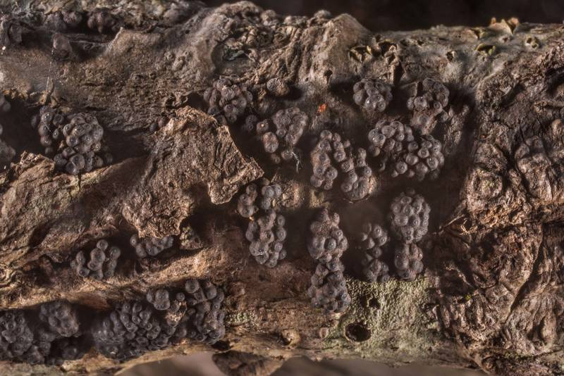 "<B>Annulohypoxylon annulatum</B> mushroom on on a fallen twig of an oak(?) on Caney Creek Trail (Little Lake Creek Loop Trail) in Sam Houston National Forest north from Montgomery. Texas, <A HREF=""../date-en/2019-08-31.htm"">August 31, 2019</A>"