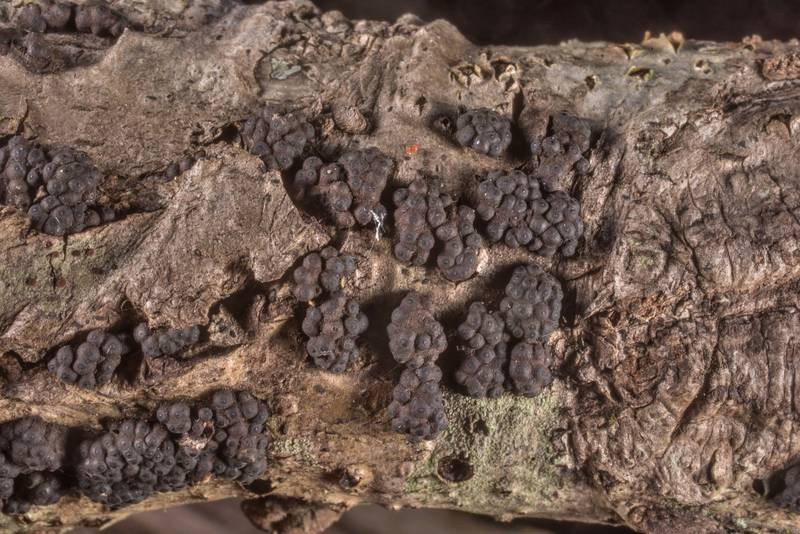 "Black fungus <B>Annulohypoxylon annulatum</B> on on a fallen twig on Caney Creek Trail (Little Lake Creek Loop Trail) in Sam Houston National Forest north from Montgomery. Texas, <A HREF=""../date-en/2019-08-31.htm"">August 31, 2019</A>"