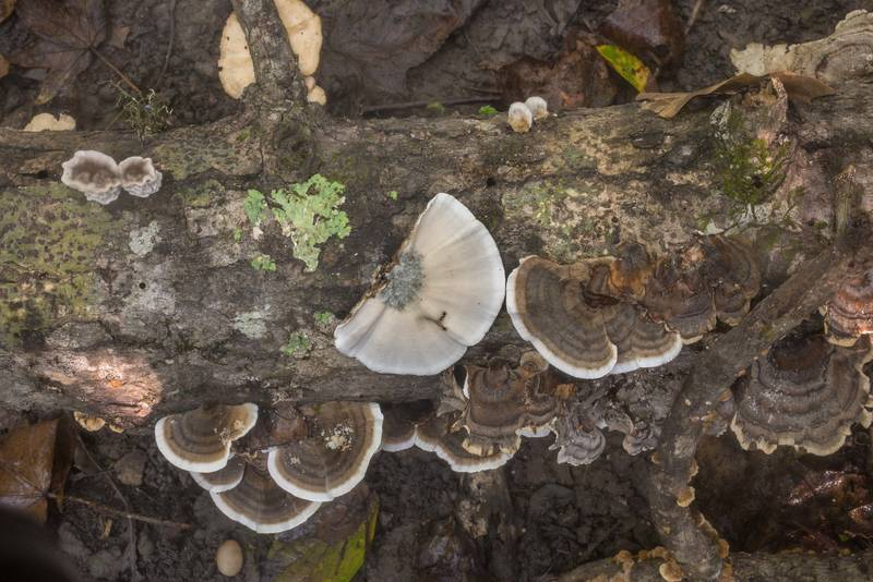 "Turkeytail mushrooms (<B>Trametes versicolor</B>) on Winters Bayou Trail in Sam Houston National Forest. Cleveland, Texas, <A HREF=""../date-en/2019-09-28.htm"">September 28, 2019</A>"