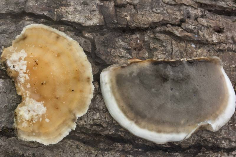 Smoky bracket polypore mushrooms (Bjerkandera adusta) on Winters Bayou Trail in Sam Houston National Forest. Cleveland, Texas, September 28, 2019