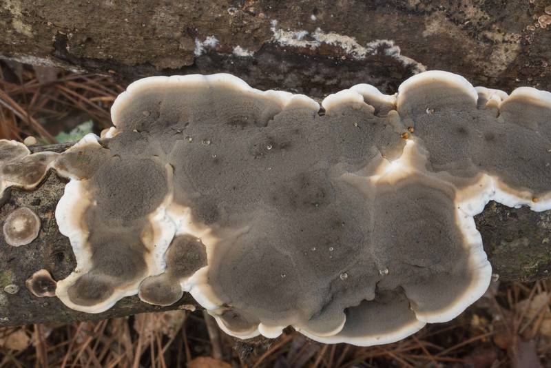 Resupinate form of smoky bracket mushrooms (Bjerkandera adusta) on underside of a log on Winters Bayou Trail in Sam Houston National Forest. Cleveland, Texas, September 28, 2019