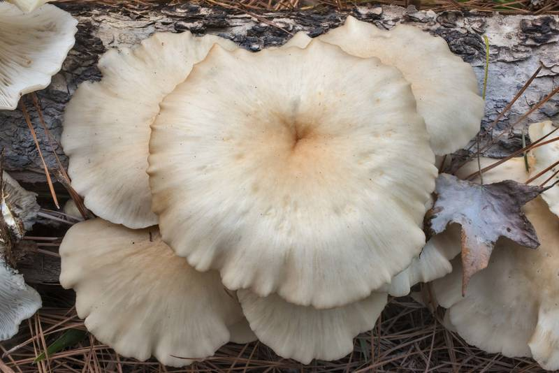 Caps of Oyster mushrooms (Pleurotus ostreatus) on a fallen oak tree on Caney Creek section of Lone Star Hiking Trail in Sam Houston National Forest north from Montgomery. Texas, September 29, 2019