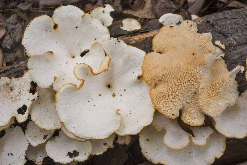 Partially dried tropical white polypore mushrooms (Favolus tenuiculus, Favolus brasiliensis) on a fallen tree on Caney Creek Trail (Little Lake Creek Loop Trail) in Sam Houston National Forest north from Montgomery. Texas, September 29, 2019