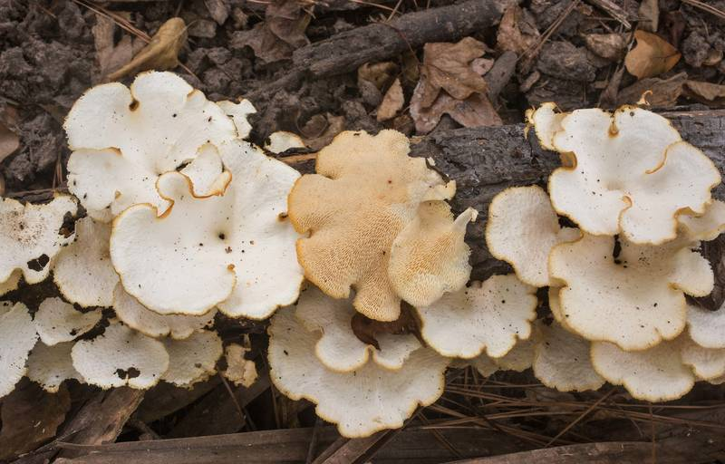 Tropical white polypore mushrooms (Favolus tenuiculus, Favolus brasiliensis) on a fallen tree on Caney Creek Trail (Little Lake Creek Loop Trail) in Sam Houston National Forest north from Montgomery. Texas, September 29, 2019
