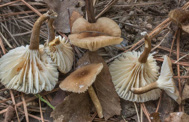 "Underside of milkcap mushrooms <B>Lactarius gerardii</B> near a small creek on Caney Creek Trail (Little Lake Creek Loop Trail) in Sam Houston National Forest north from Montgomery. Texas, <A HREF=""../date-en/2019-09-29.htm"">September 29, 2019</A>"