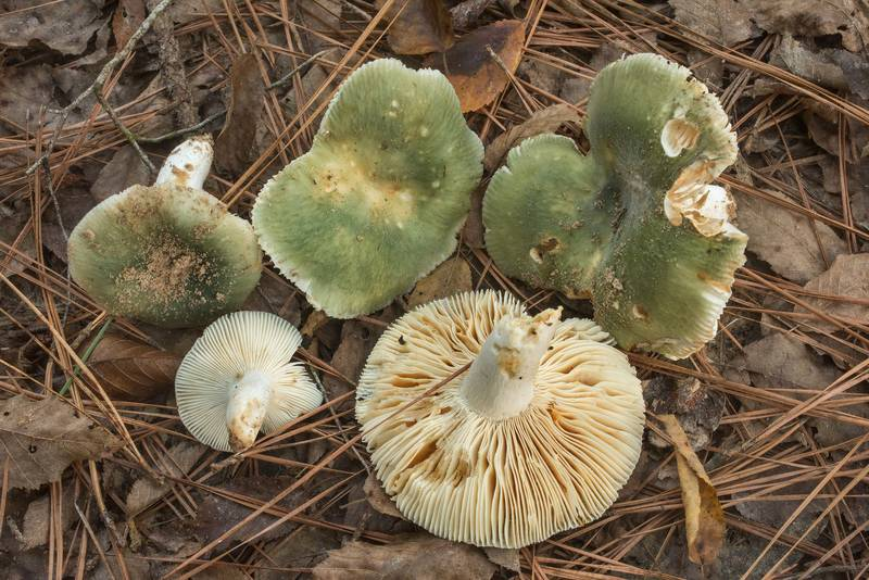 "Turquoise brittlegill mushrooms (<B>Russula subgraminicolor</B>)(?) near a small creek on Caney Creek Trail (Little Lake Creek Loop Trail) in Sam Houston National Forest north from Monrgomery. Texas, <A HREF=""../date-en/2019-09-29.htm"">September 29, 2019</A>"