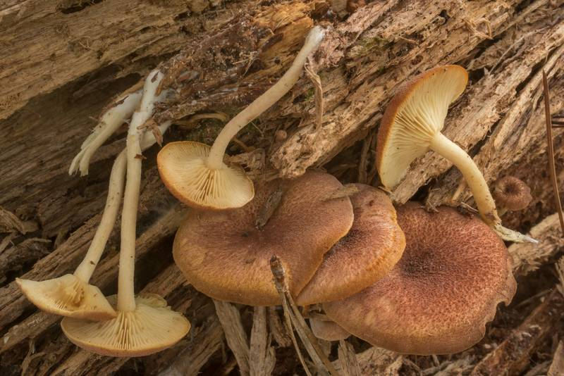 "Plums and Custard mushrooms (<B>Tricholomopsis rutilans</B>) on a pine log on Caney Creek Trail (Little Lake Creek Loop Trail) in Sam Houston National Forest north from Montgomery. Texas, <A HREF=""../date-en/2019-09-29.htm"">September 29, 2019</A>"