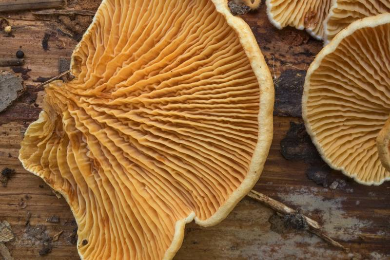 "Gills of oyster rollrim mushrooms (<B>Tapinella panuoides</B>) on underside of a fallen pine on Winters Bayou Trail in Sam Houston National Forest. Cleveland, Texas, <A HREF=""../date-en/2019-10-12.htm"">October 12, 2019</A>"