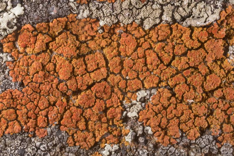 "Firedot lichen <B>Caloplaca squamosa</B> on sandstone of Lost Pines Overlook in Bastrop State Park. Bastrop, Texas, <A HREF=""../date-en/2019-10-13.htm"">October 13, 2019</A>"