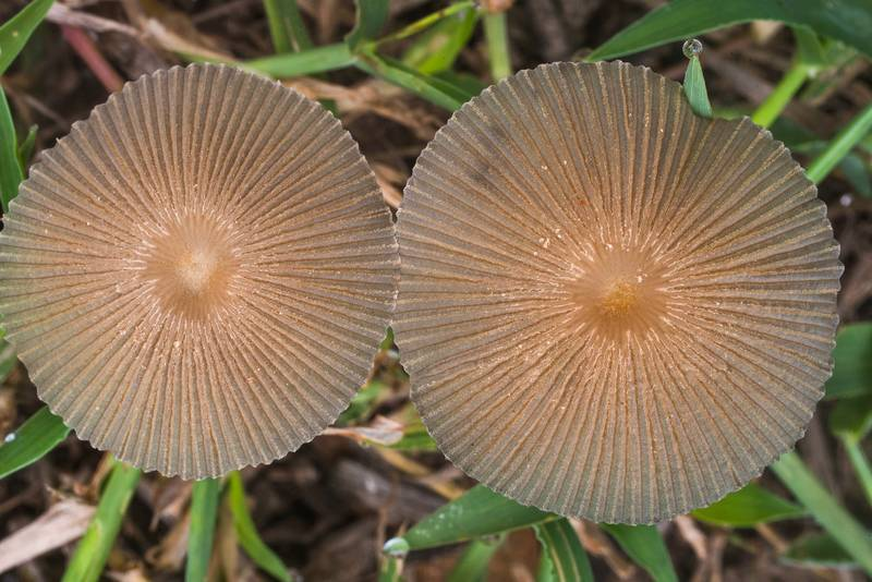 Pleated inkcap mushrooms (Parasola plicatilis, Coprinus plicatilis, Little Japanese Umbrella) on Post Oak Trail in Lick Creek Park. College Station, Texas, October 15, 2019