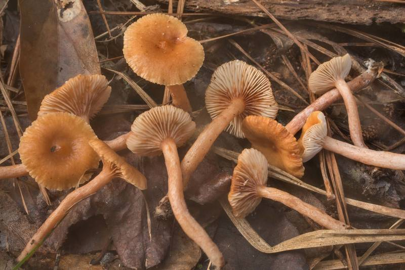 "Small milkcap mushrooms <B>Lactarius neotabidus</B>(?) in wet area near the creek in Big Creek Scenic Area of Sam Houston National Forest. Shepherd, Texas, <A HREF=""../date-en/2019-10-20.htm"">October 20, 2019</A>"