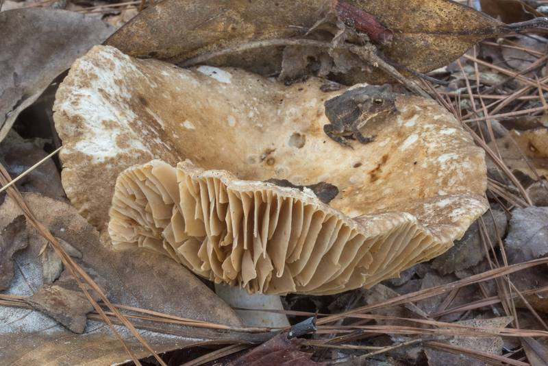 "Large brittlegill mushroom <B>Russula eccentrica</B> with a toad in Big Creek Scenic Area of Sam Houston National Forest. Shepherd, Texas, <A HREF=""../date-en/2019-10-20.htm"">October 20, 2019</A>"