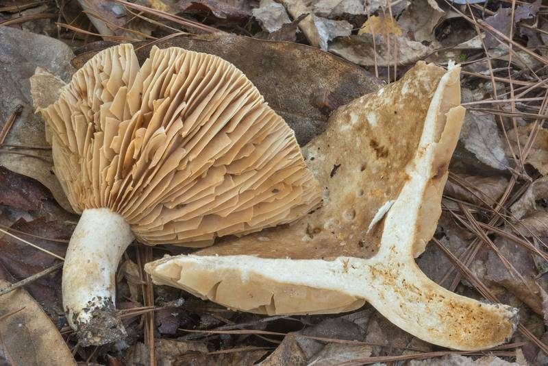 "Dissected large brittlegill mushroom <B>Russula eccentrica</B> in Big Creek Scenic Area of Sam Houston National Forest. Shepherd, Texas, <A HREF=""../date-en/2019-10-20.htm"">October 20, 2019</A>"