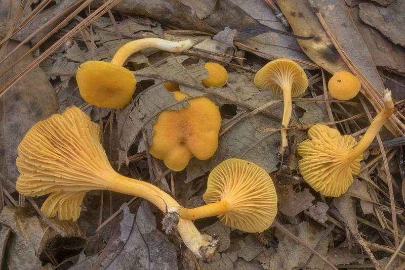 "Chanterelle mushrooms <B>Cantharellus tabernensis</B> in Big Creek Scenic Area of Sam Houston National Forest. Shepherd, Texas, <A HREF=""../date-en/2019-10-20.htm"">October 20, 2019</A>"