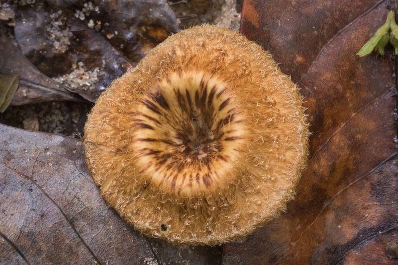"Cap of polypore mushroom <B>Panus tephroleucus</B> (Lentinus tephroleucus) in Big Creek Scenic Area of Sam Houston National Forest. Shepherd, Texas, <A HREF=""../date-en/2019-10-20.htm"">October 20, 2019</A>"