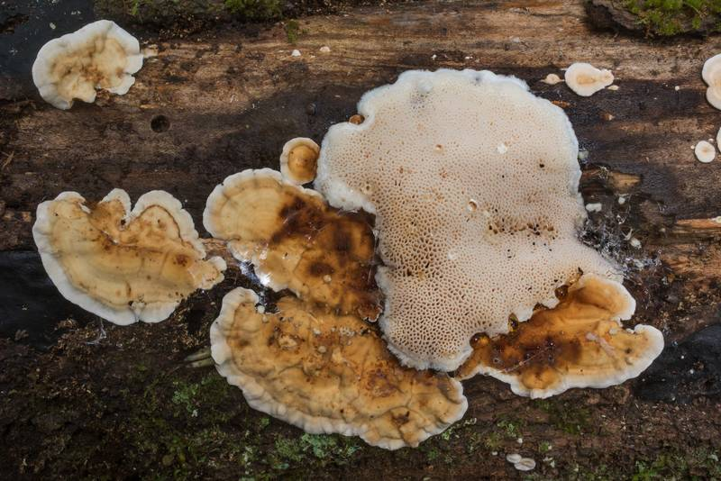 Stereum and some polypore mushroom on a log in Big Creek Scenic Area of Sam Houston National Forest. Shepherd, Texas, October 20, 2019