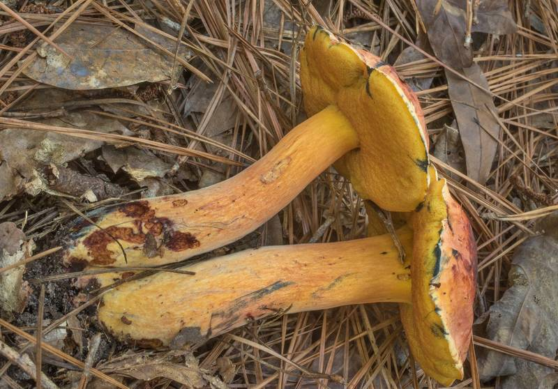 "Side view of bolete mushrooms <B>Suillellus subluridus</B> or may be Neoboletus in a pine forest in Big Creek Scenic Area of Sam Houston National Forest. Shepherd, Texas, <A HREF=""../date-en/2019-10-20.htm"">October 20, 2019</A>"