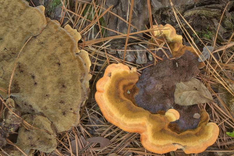 "Underside of velvet-top fungus (<B>Phaeolus schweinitzii</B>) near a pine in Big Creek Scenic Area of Sam Houston National Forest. Shepherd, Texas, <A HREF=""../date-en/2019-10-20.htm"">October 20, 2019</A>"
