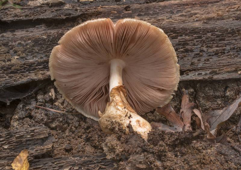 Underside of silky sheath mushroom (Volvariella bombycina) on a rotting oak log in Big Creek Scenic Area of Sam Houston National Forest. Shepherd, Texas, October 20, 2019