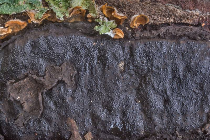 "Close up of crust fungus <B>Biscogniauxia mediterranea</B> on a fallen oak on Caney Creek section of Lone Star Hiking Trail in Sam Houston National Forest north from Monrgomery. Texas, <A HREF=""../date-en/2019-10-26.htm"">October 26, 2019</A>"